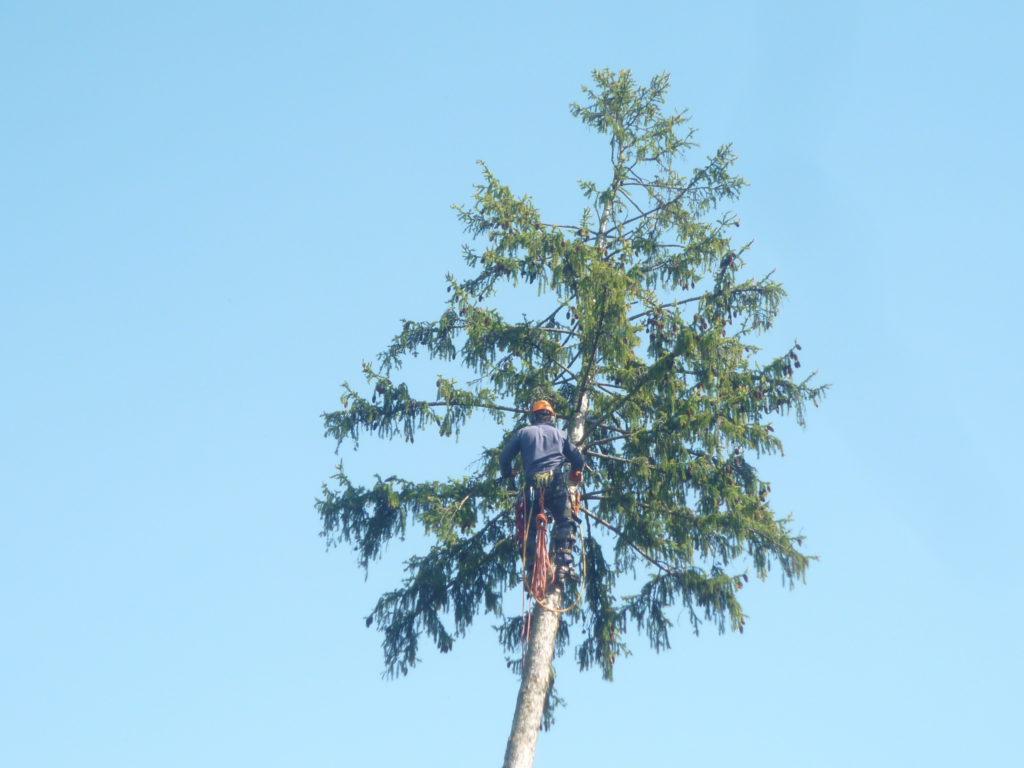 Спилка деревьев Бужаниново, Сергиево-Посадский район