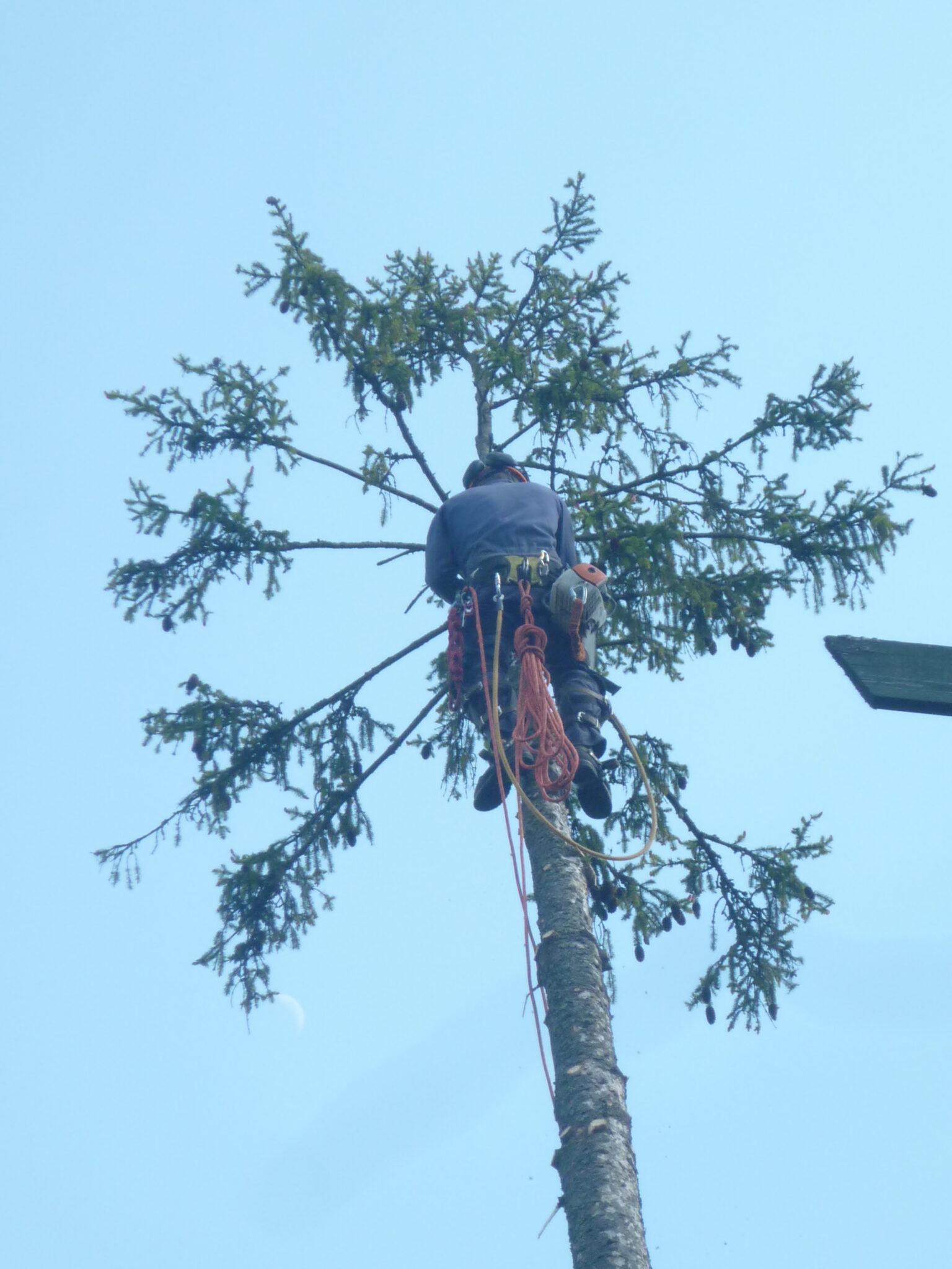 Спиливание аварийного дерева (ели) в Бужаниново Сергиево-Посадский район