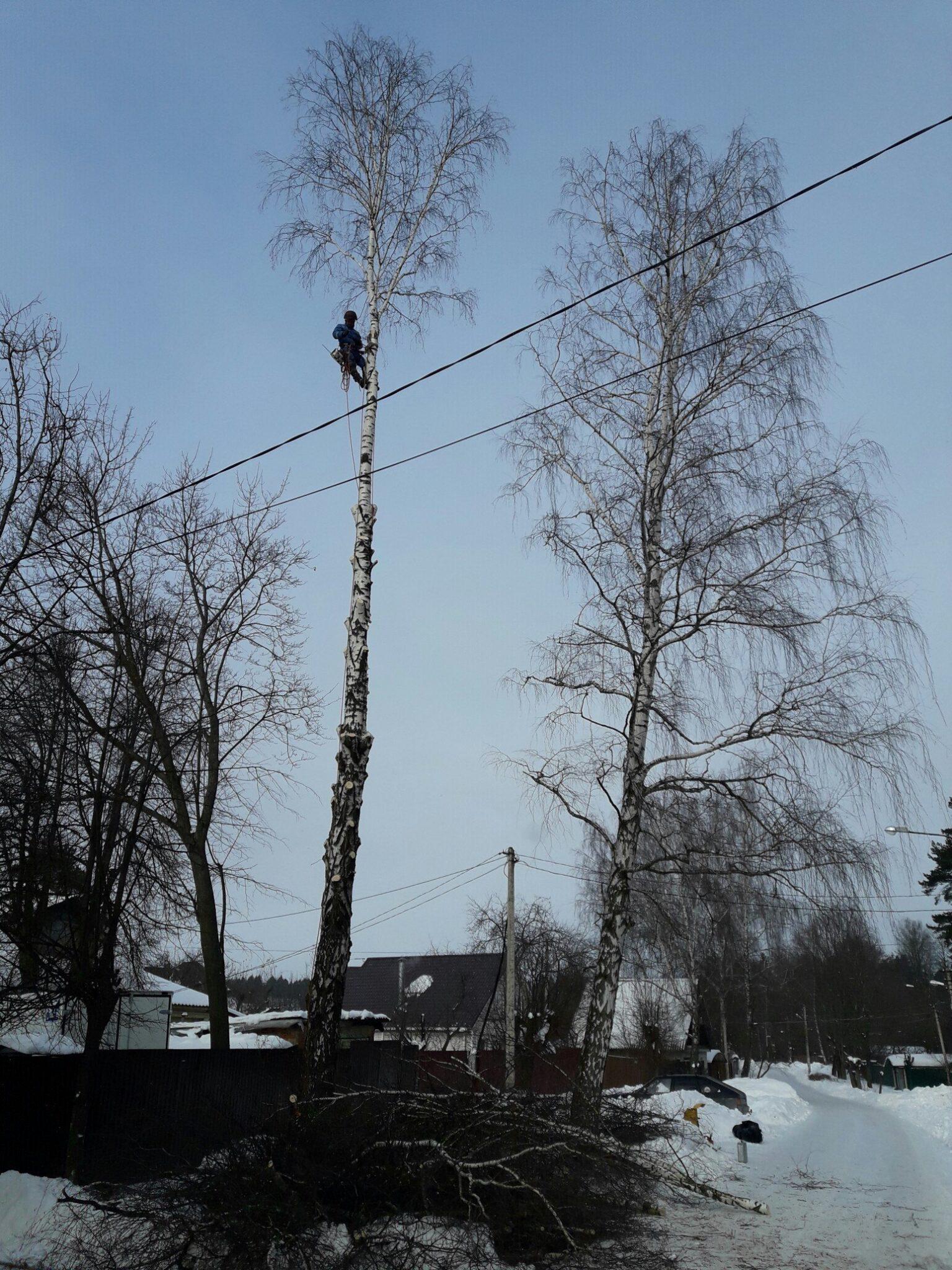 Удаление деревьев. Береза , Пушкино, мкр. Звягино