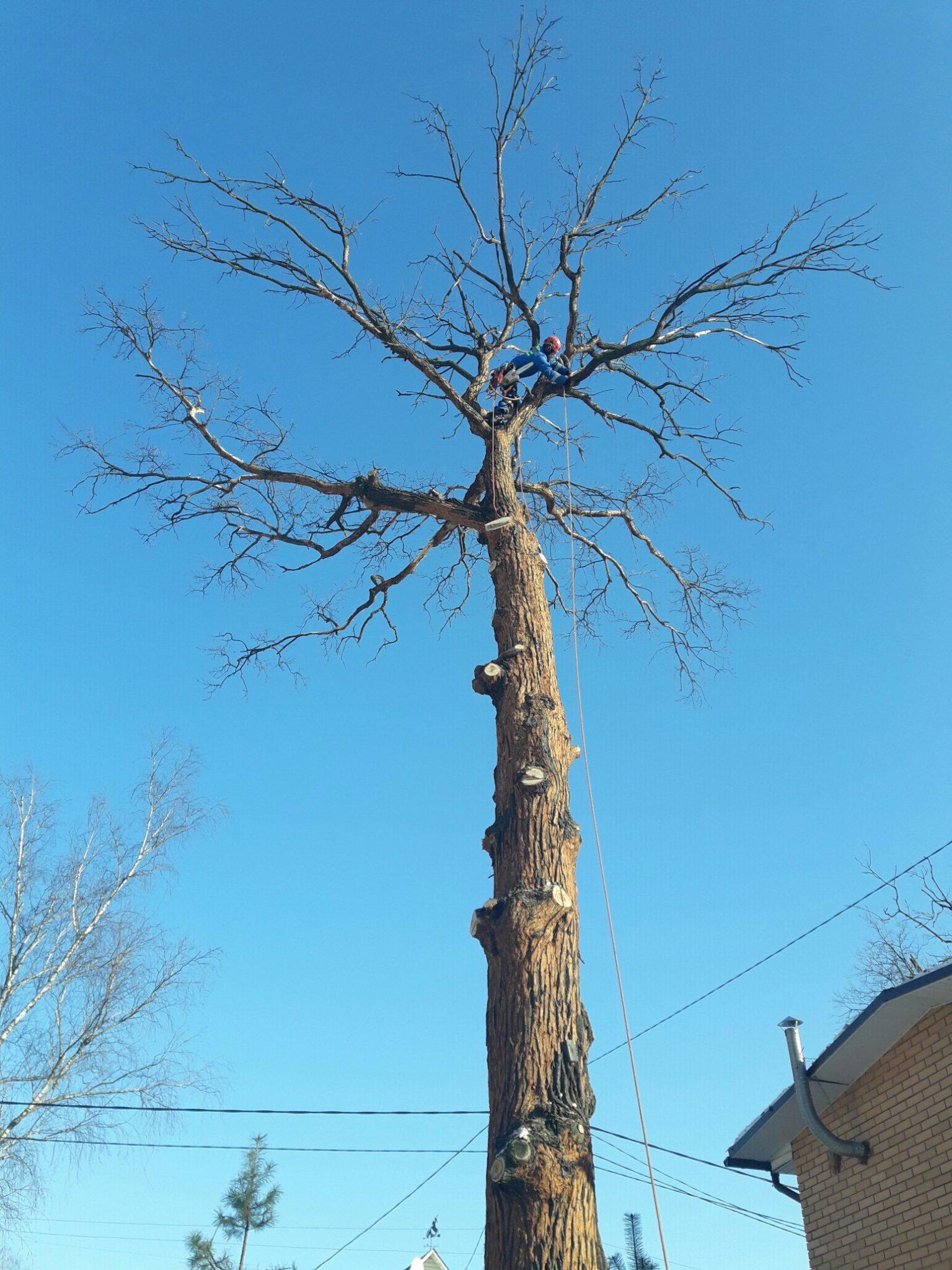 Удаление деревьев. Дуб Одинцово
