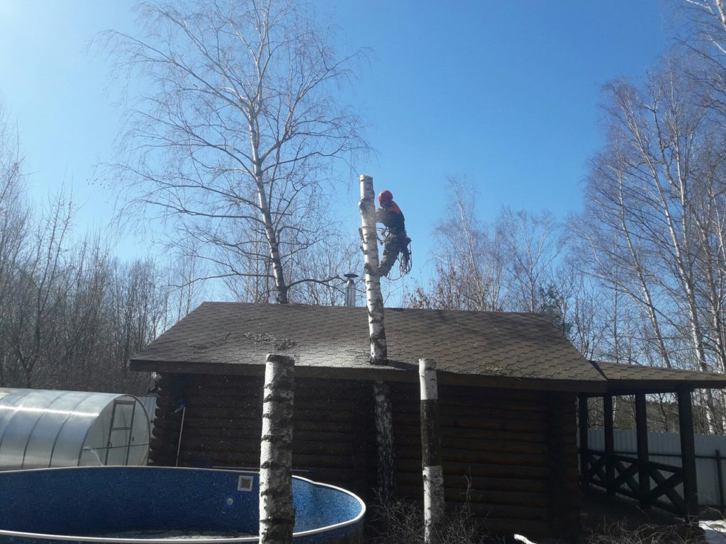 Спилить дерево в Пушкино. Удаление  6-ти берез на участке