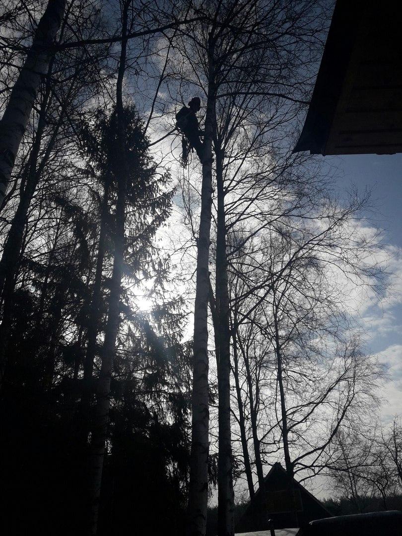 Спилить дерево в Хотьково. Спиливание четырех берез на даче