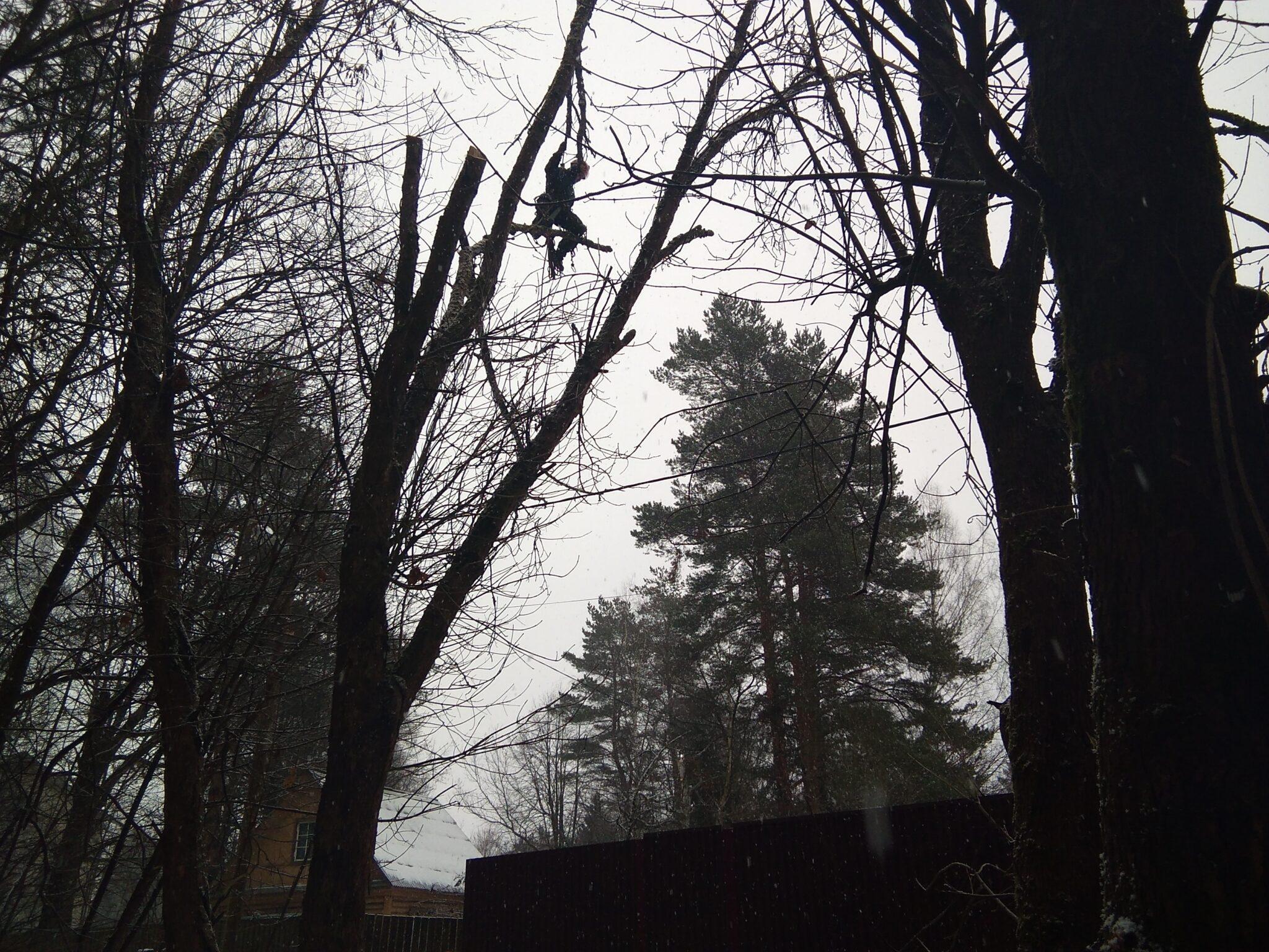 Обрезка деревьев в Пушкинском районе, поселок Зеленоградский