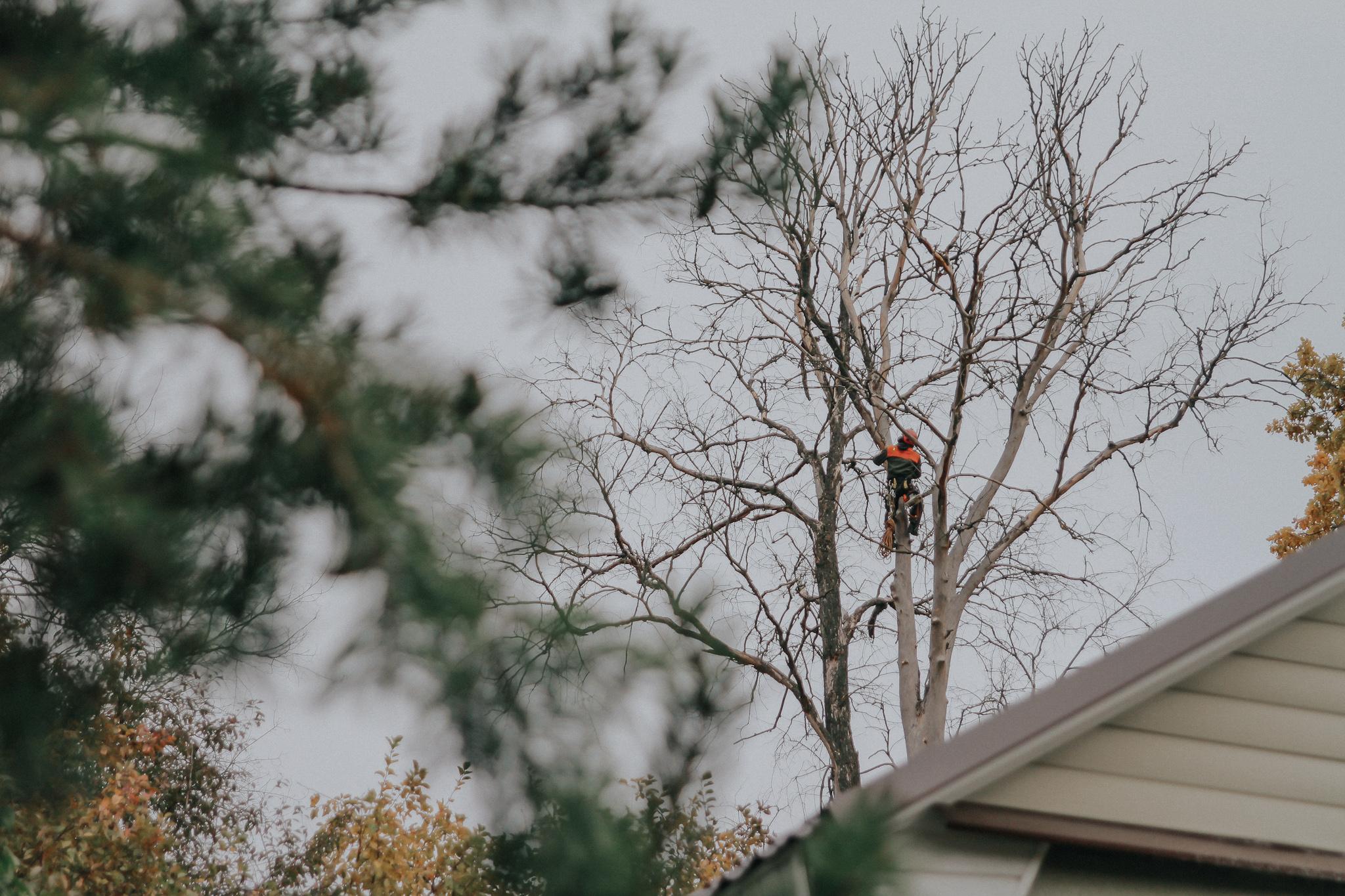Спиливание деревьев. Удаление векового вяза в Сергиевом Посаде
