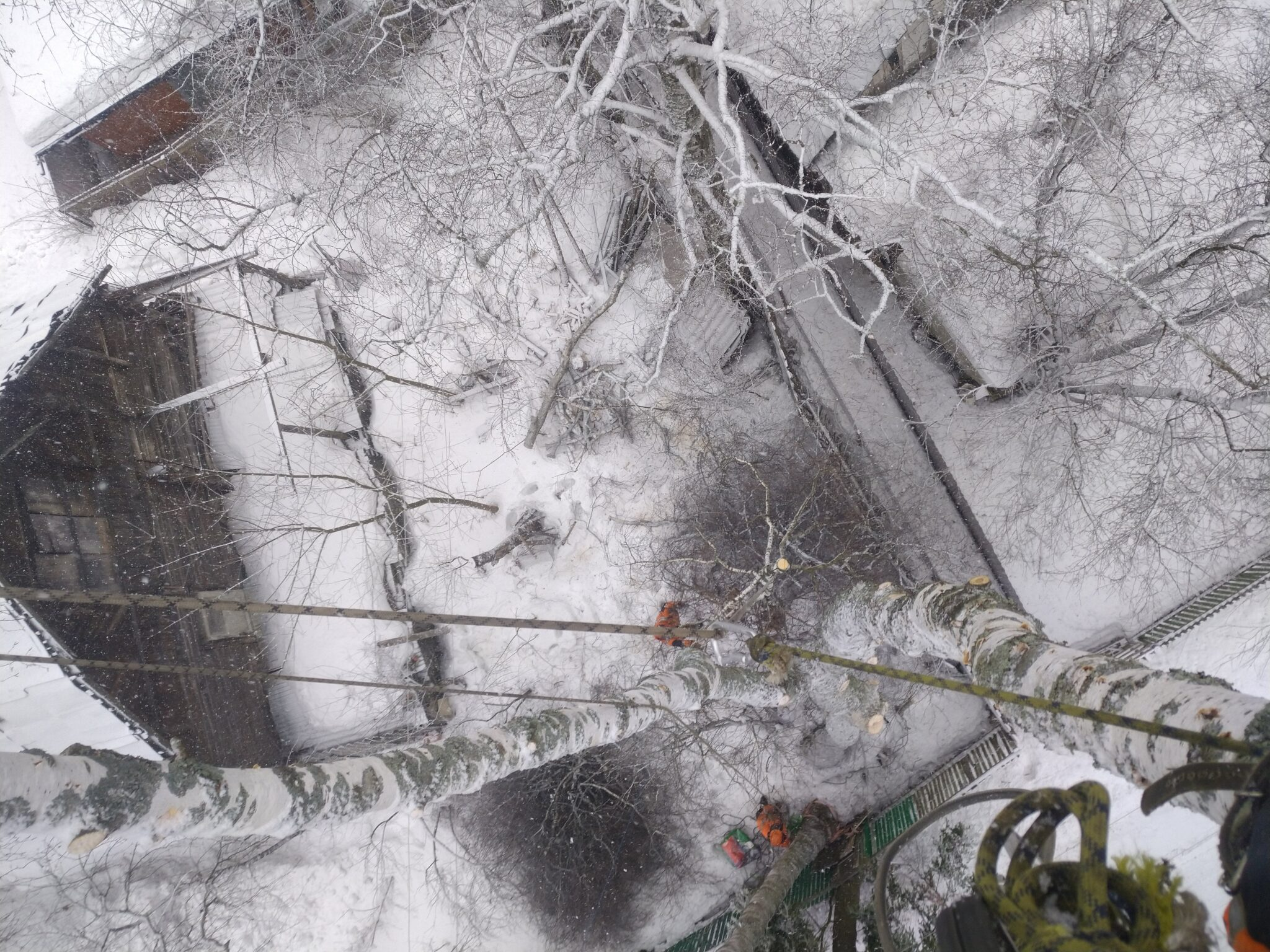 Спиливание деревьев. Три березы в пос. Зеленоградский, Пушкинский район