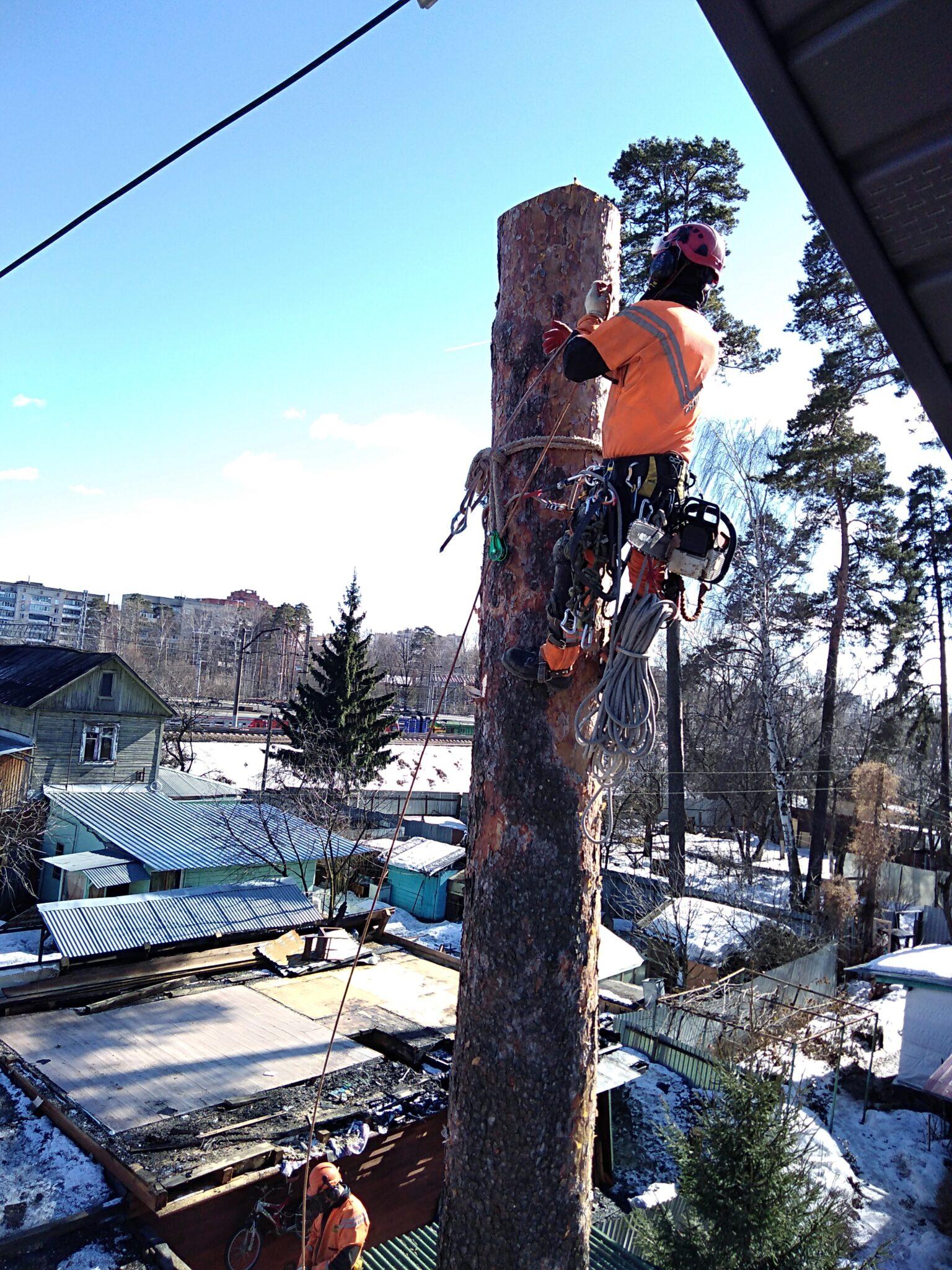 Удаление деревьев. Вековая сосна в городе Пушкино, Московская область.